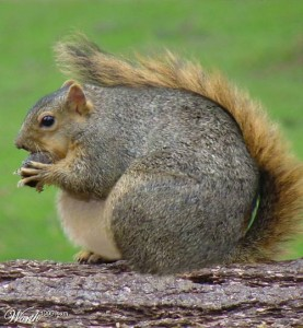 Fat-Squirrel